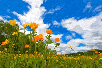 California Poppies Under Blue Skies